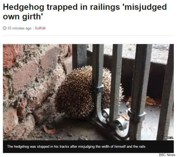 o-BBC-NEWS-SUFFOLK-HEDGEHOG-MISJUDGED-HIS-OWN-GIRTH-570